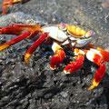 Toll, der Kontrast der roten Krabben auf dem dunklen Lavagestein.