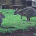 Die begruessten mich am Morgen. Weiss nicht, was das fuer Kaenguruhs sind. Die waren winzig klein, dafuer aber blitzschnell...