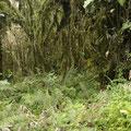 Dochzu meinem Ausflug auf den Vulkan... Der Wald ist unten noch gruen und dichtbewachsen.