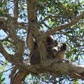 ... sehe ich meinen ersten Koala...