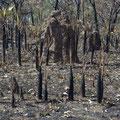 Dies der Wald im Litchfield NP.