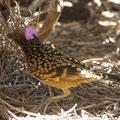 ... wurde ich hier Zeuge eines besonderen Spektakels. Dieser Bower Bird wirbt mit seinen aufgestellten bunten Federn gerade um ein Weibchen.