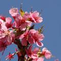 Auch die Mandelbäumchen stehen in voller Blüte.