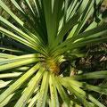 Schraubenpalmen gibt es naemlich in den Kimberleys ueberall zu finden.