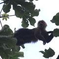 Der Boss der Affenbande... :-)