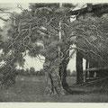 Нилов В.Н. Шаманское дерево 2012 офорт, акватинта.