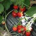 Reife Erdbeerfrüchte