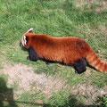 Rjavi panda