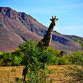 Wo ist die Giraffe?