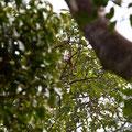Langkawi, Malaysia, Brahminy Kite (Haliastur indus)