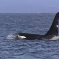 Johnston Strait, Orca, Kanada 2001