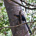 Langkawi, Malaysia, Rieseneichhörnchen