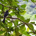 Langkawi, Malaysia,Hornbill