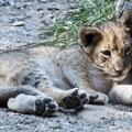 Löwen-Baby, Zoo Basel