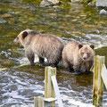 Glendale Cove, 2 Grizzlybär-Junge, Kanada 2005