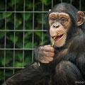Schimpanse, Zoo Basel