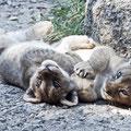 Löwen-Babys, Zoo Basel