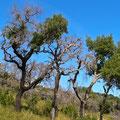 Korkeichen, zwischen Marmelete und Monchique, Algarve, Portugal