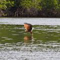Langkawi, Malaysia, Mangrove-Tour, Brahminy Kite (Haliastur indus)