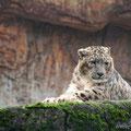 Schneeleopard, Zoo Basel
