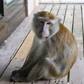 Langkawi, Malaysia, Javaneraffen (Long-tailed or Crab-eating Macaque)