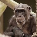 Gorilla, Zoo Basel