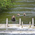 Glendale Cove, Grizzlybären (Mutter mit 2 Jungtieren), Kanada 2005