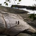 Langkawi, Malaysia, Javaneraffen (Long-tailed or Crab-eating Macaque)