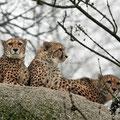 Leoparden, Zoo Basel