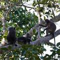 Langkawi, Malaysia, Südliche Brillenlangur (Dusky Leaf Monkey)