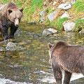 Glendale Cove, Grizzlybären, Kanada 2005