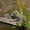 Singapore, Sungei Buloh Wetland Reserve, Lizard