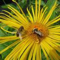 Biene + Fliege auf Blüte