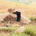 Traditionelle Reisernte - Mann drischt Reis durch schlagen gegen Holz-Bottich. Im nordvietnamesischen Klima sind zwei Reisernten pro Jahr möglich.