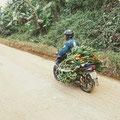 """Im Wald geerntete Bananenfrüchte werden per Moped transportiert – Gewicht pro """"Büschel"""" um die 20 kg"""