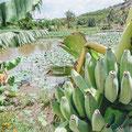Bananenpflanzen wachsen wild am Straßenrand