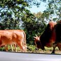 Auf Hauptstraße Nr. 6 in Richtung Son La – Mann bringt seine Kühe von A nach B