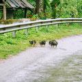 Eine regionale Spezialität in Moc Chau – echtes Wildschweinfleisch
