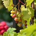 Weinlaube im Garten