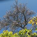 蝋梅の木と山桜(寒桜?)