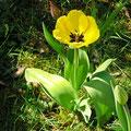 Tulpen - Foto: skb2011