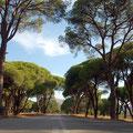 Schirmpinienwald bei Araxos (westlich von Patras)