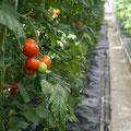 Unser Tomatenhaus