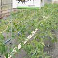 Hummelzuhause im Tomatenblock