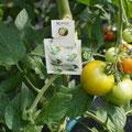 Tomaten bleiben bis zur Reife am Strunk