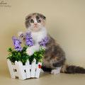 Кошка скоттиш фолд, окрас калико осветленный