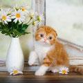 котенок кот скоттиш фолд красный биколор