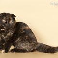 кошка шотландская вислоухая скоттиш фолд черная черепаха