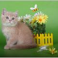 Шотландский котенок окрас кремовый тиккированный