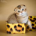 Кошка , окрас шоколадный тиккированный